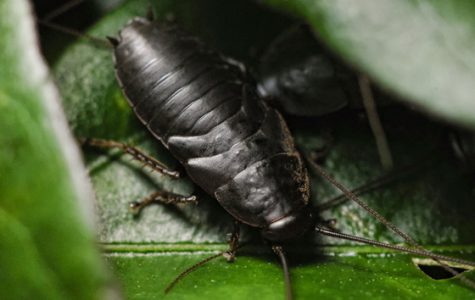 Could Cockroach Milk Be the Next Big Thing?