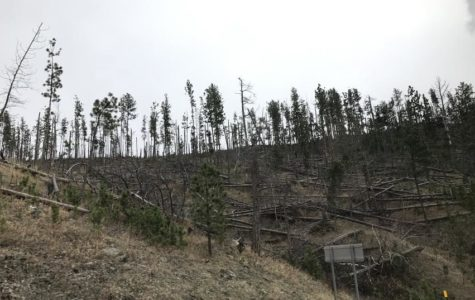 Mountain Pine Beetles Destroy Forests Across Colorado and Nation