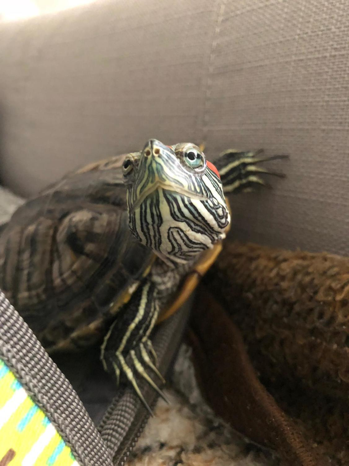 8 year old red-eared slider turtle.